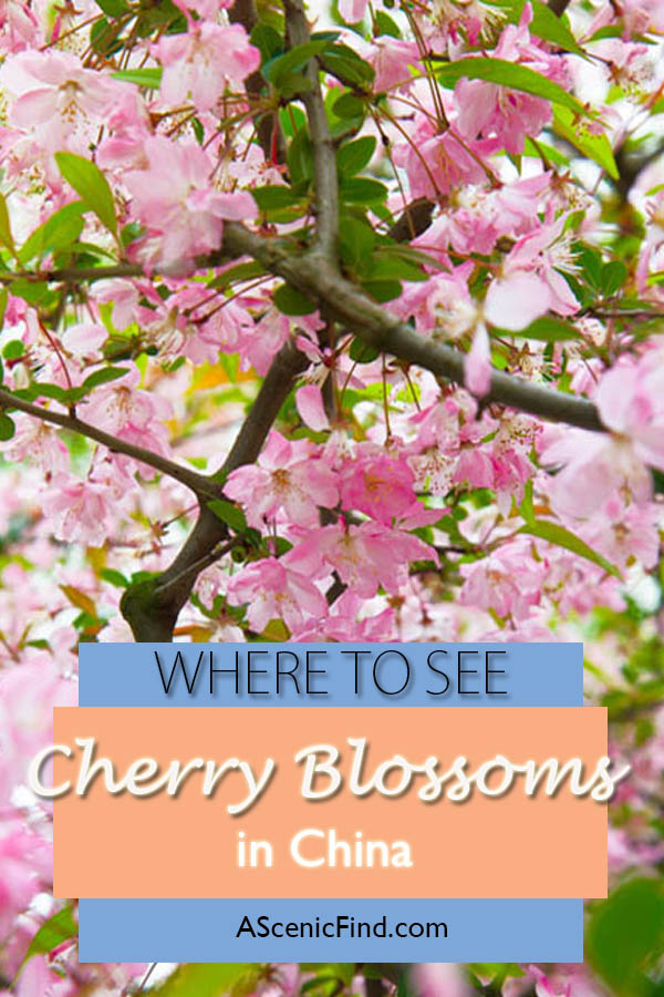 Chinese cherry blossom pictures