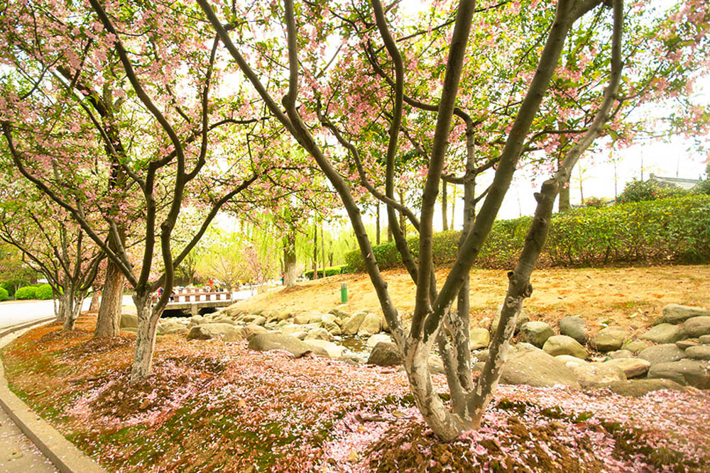 Where to see cherry blossoms in china
